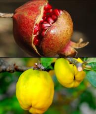 PIXABY.PomegranateQuince.2020.jpg