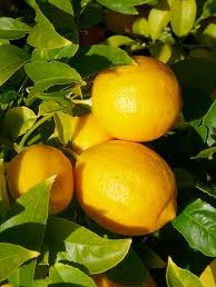 web meyer lemon pic 2.jpg